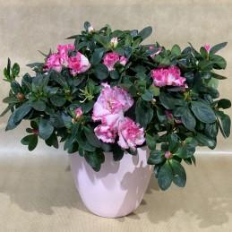 Azalée Rose - Place O Fleurs