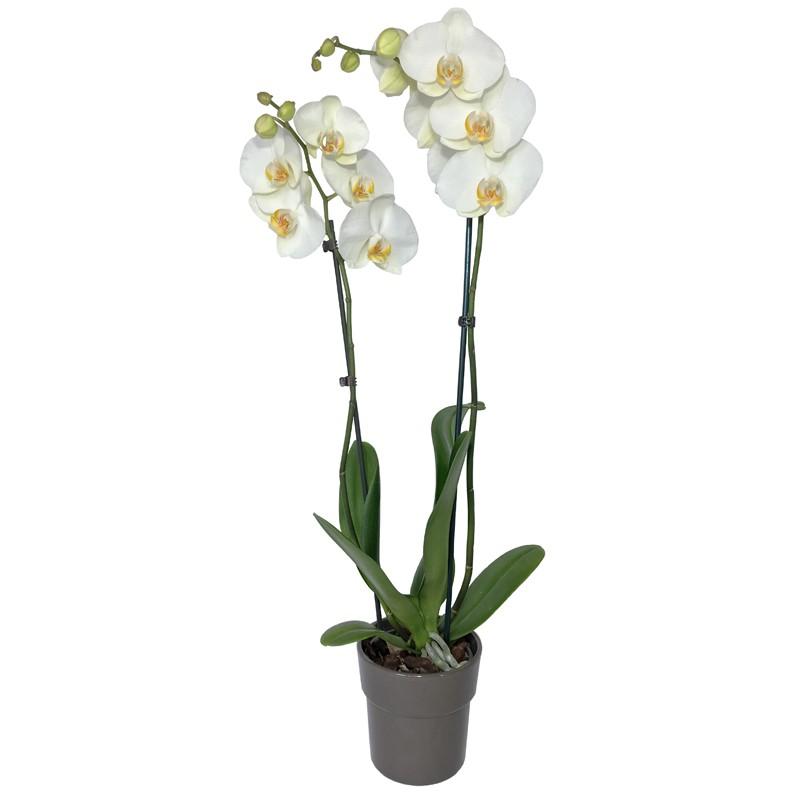 Orchidée Phalaenopsis Blanc - Place O Fleurs