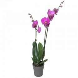 Orchidée Phalaenopsis Rose - Place O Fleurs